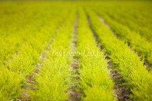 ティーツリーの畑